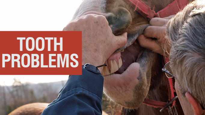 Thumbnail for Tooth Problems in Older Horses