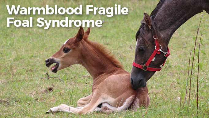 Thumbnail for Warmblood Fragile Foal Syndrome