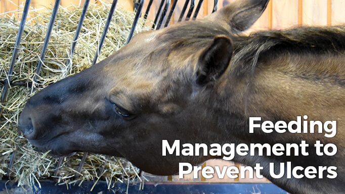 Thumbnail for Feeding Management Tips to Prevent Equine Ulcers