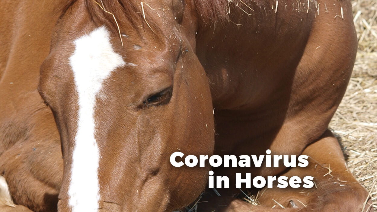Thumbnail for Is My Horse is at Risk of Contracting Equine Coronavirus?
