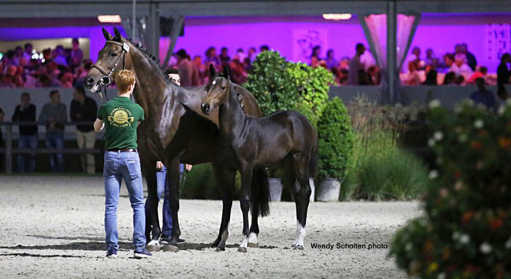 Thumbnail for 2020 dates for Flanders Foal & Embryo auctions announced