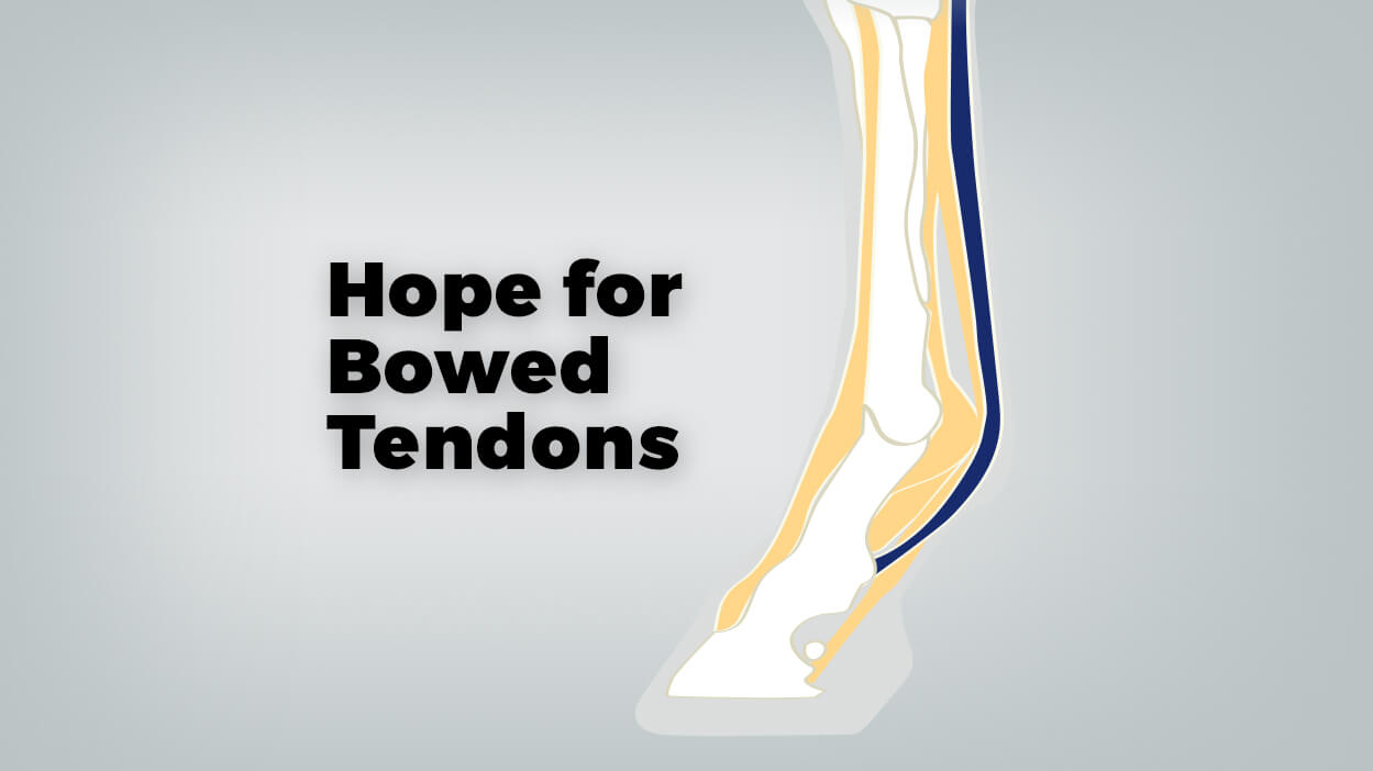 Thumbnail for Researchers Have New Hope for Bowed Tendons in Horses