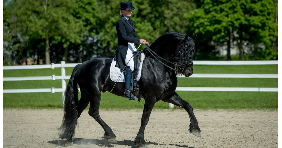Dr. Michelle Whitehead is turning heads with her lovely Friesians. (Photo courtesy Paul Whitehead, Hest and Hem)