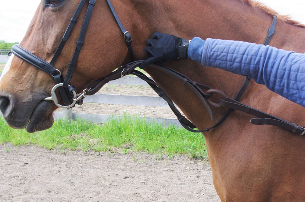 With the horse looking straight ahead, a simple trick to confirm if the length of the side rein is adequate is by measuring it to the line of the throat.