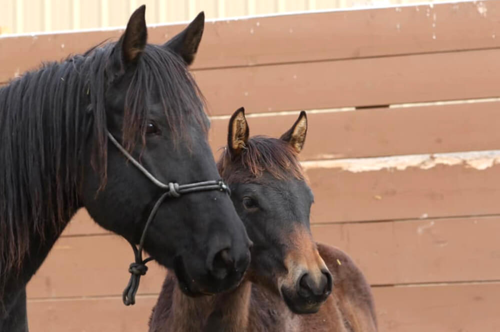 Raven and her filly Giselle. Raven has gone from an extremely frightened rescue to her first steps at being trained under saddle. (Kris Van Eaton photo)