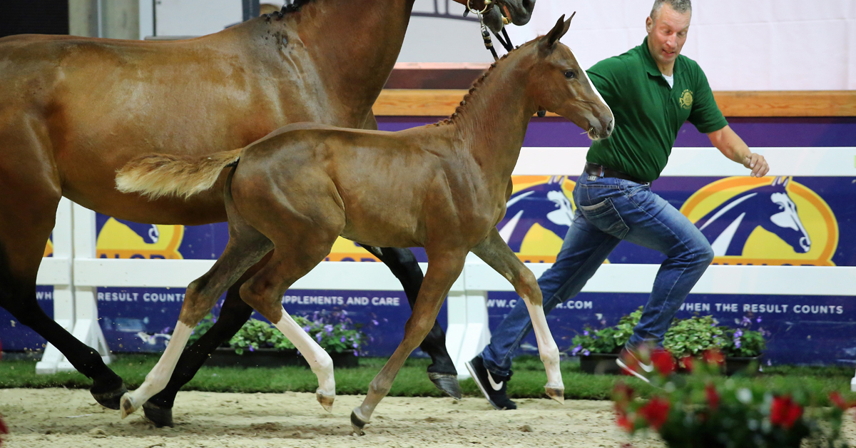 Thumbnail for Flanders Foal Auction in Belgium Breaks Sales Records