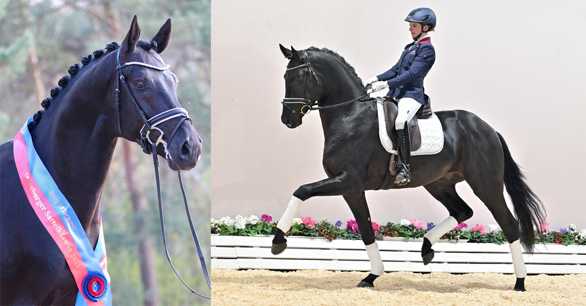 Thumbnail for Stallions from Oldenburg Saddle Licensing Available Via Online Auction