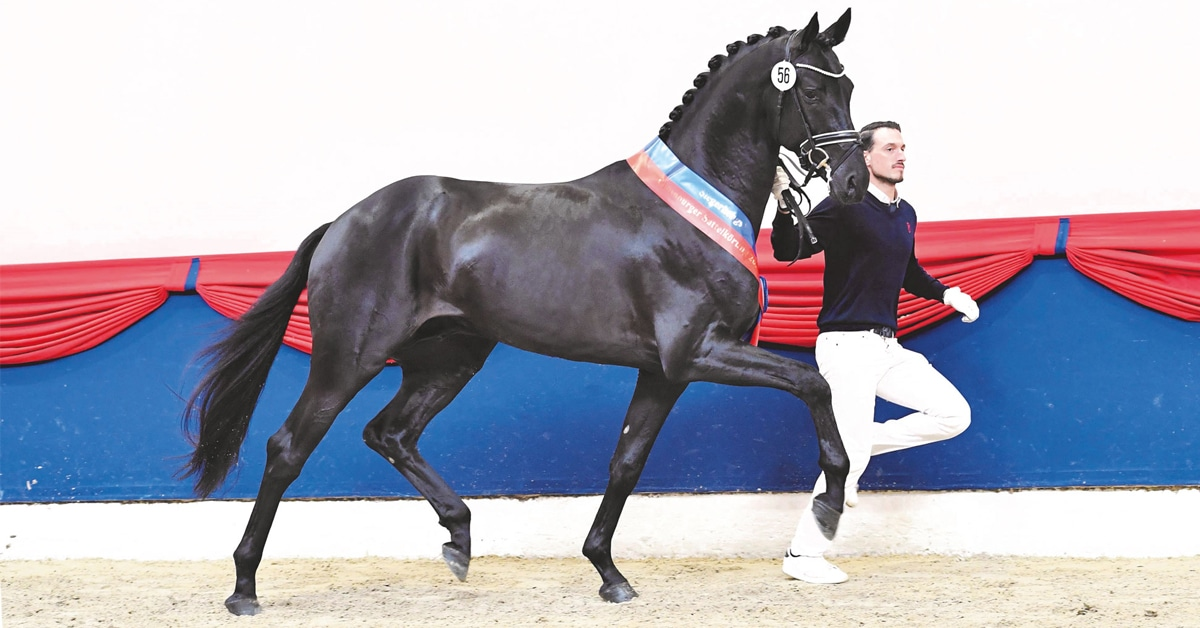 Thumbnail for Record price for Champion Oldenburg Stallion at Saddle Licensing