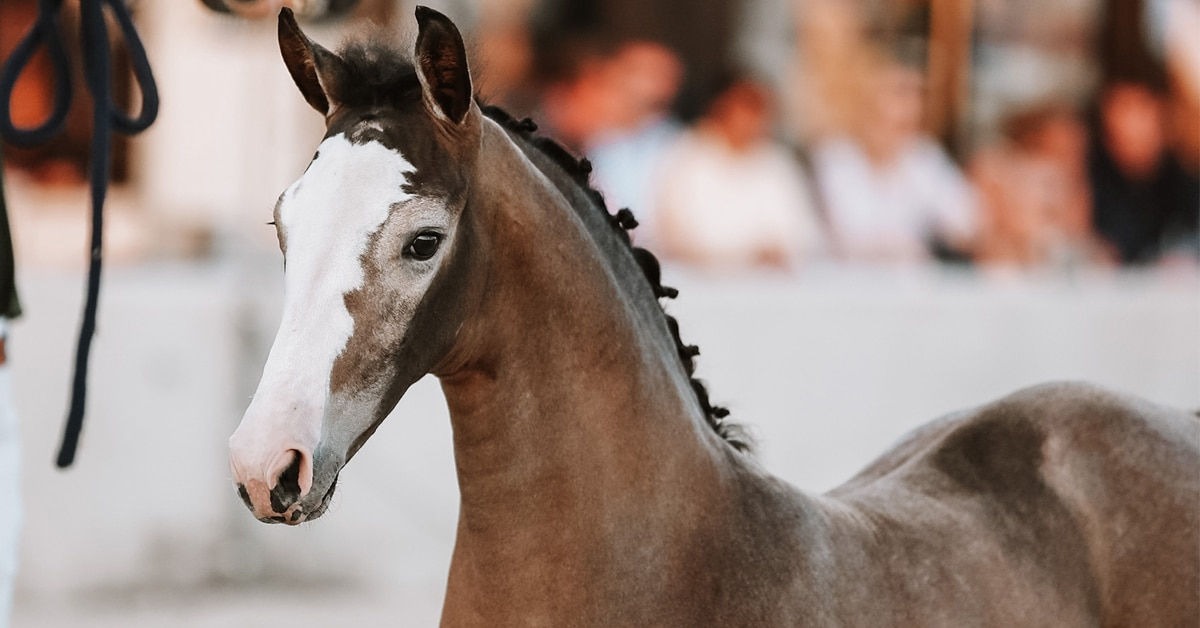 Thumbnail for Horse Auctions Europe: A Platform for Online Auctions
