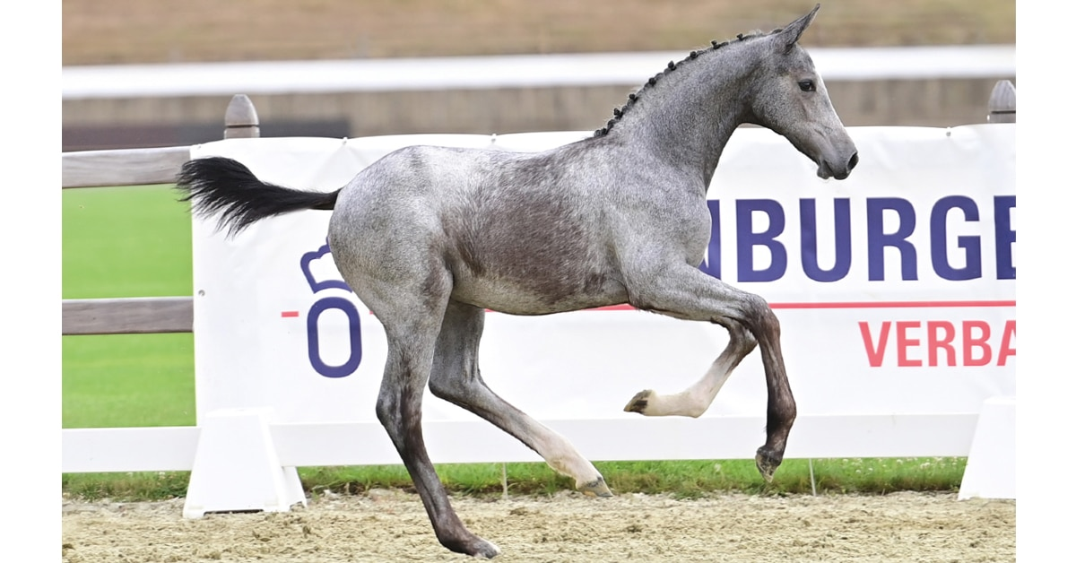Thumbnail for Elite Foal Auction at Vechta is a Big Hit